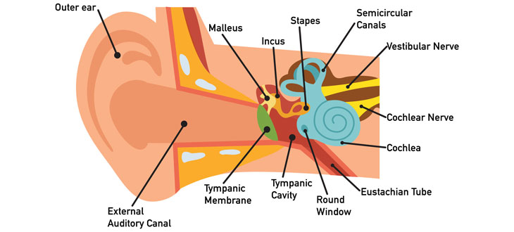 Ear Anatomy Diagram